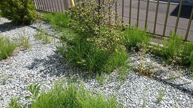 木の周辺や壁の近辺に生えやすいスギナ