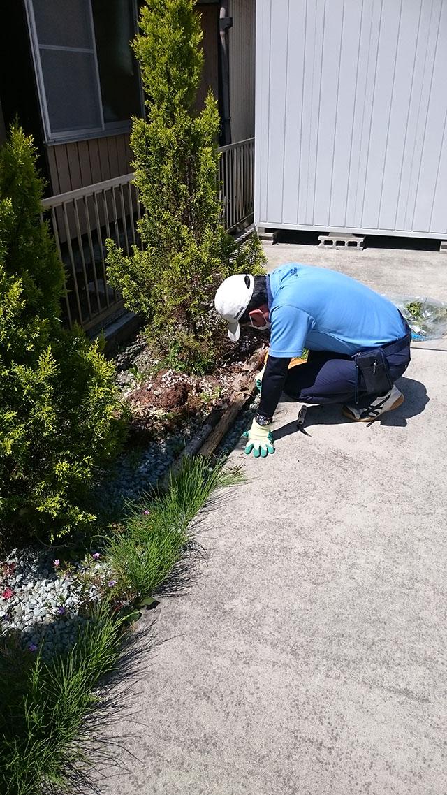 庭の植え込みの雑草を根元から抜く