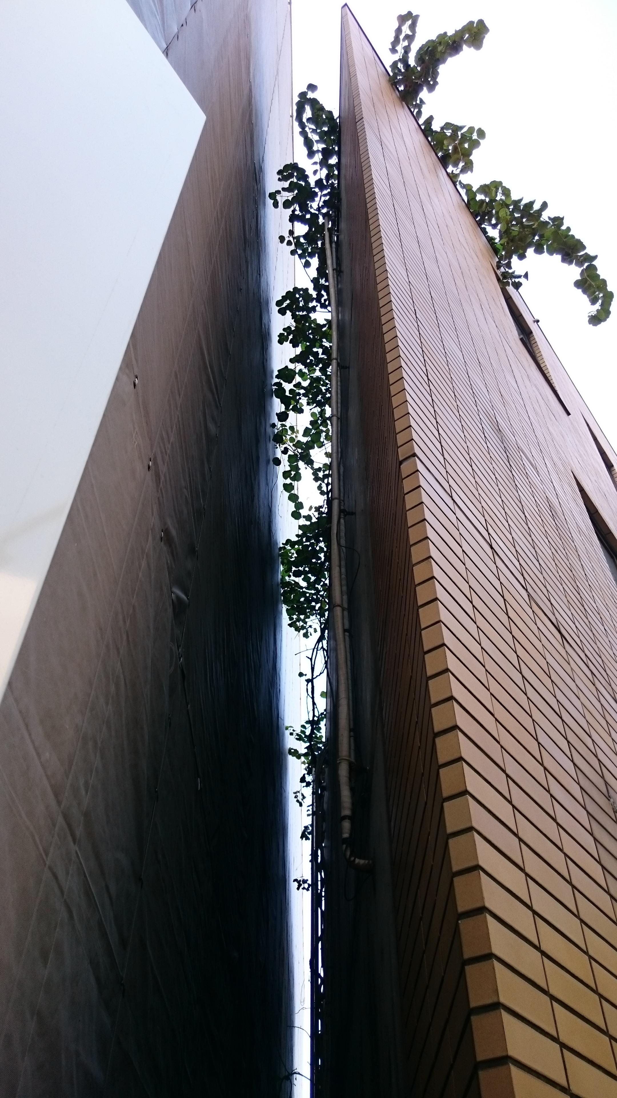 ビルの屋上までからみついている蔓(つる)を切断・除去