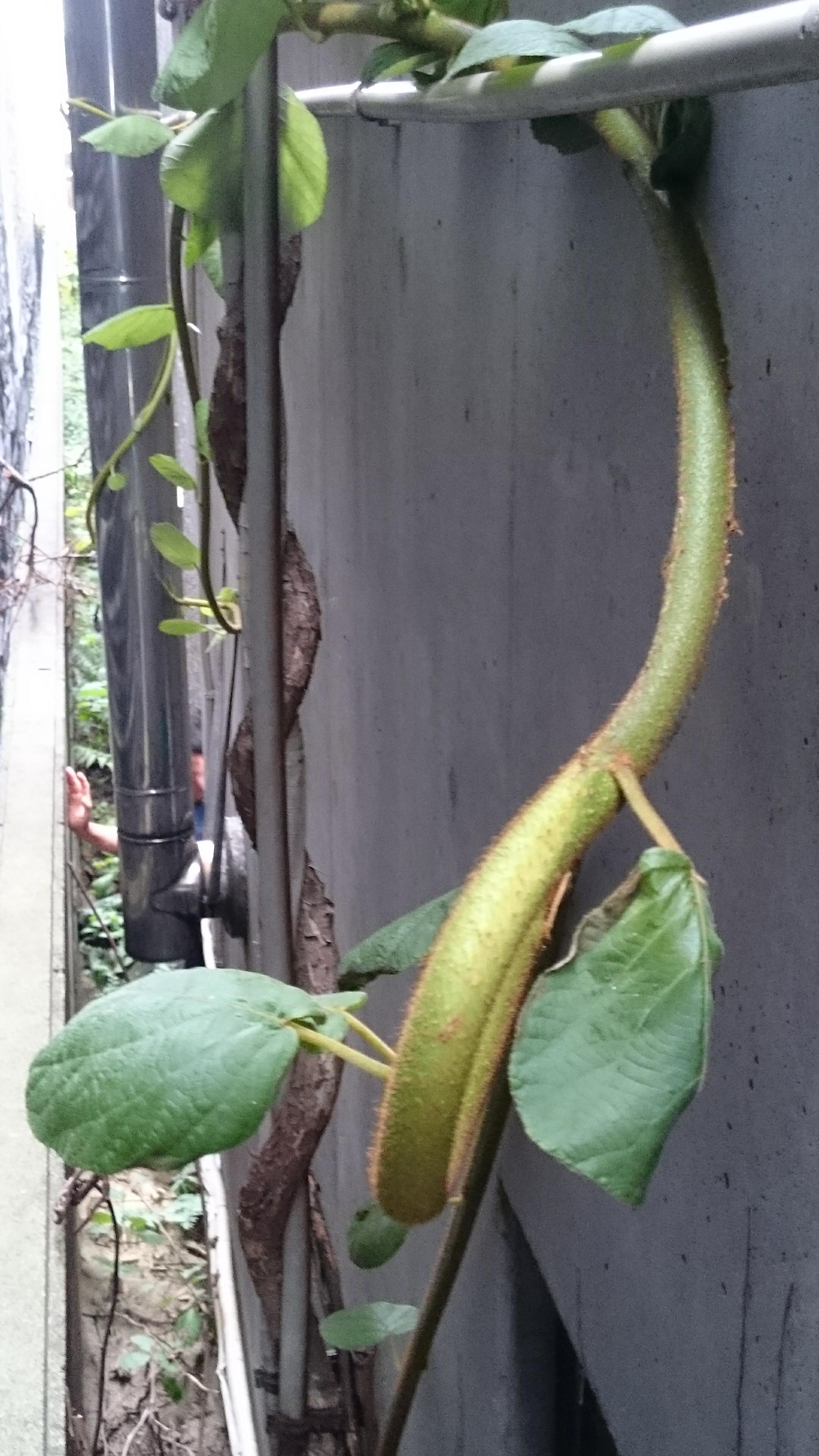 大蛇のような巨大植物はキウイの木でした