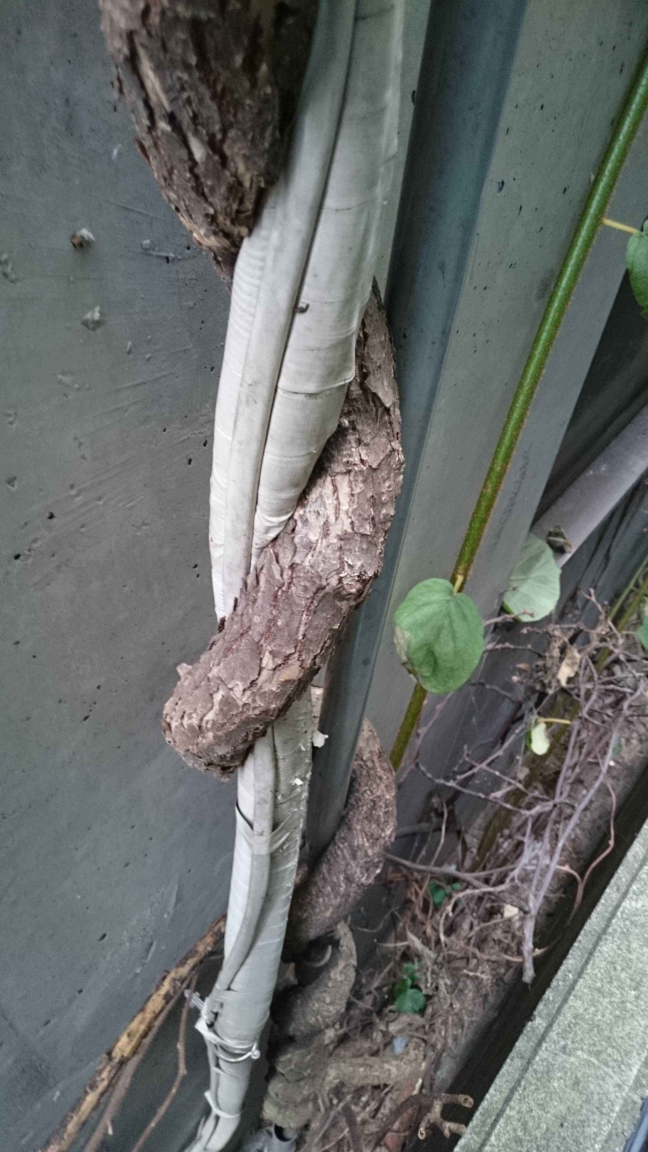 エアコンのホースにからみついて固着した蔓