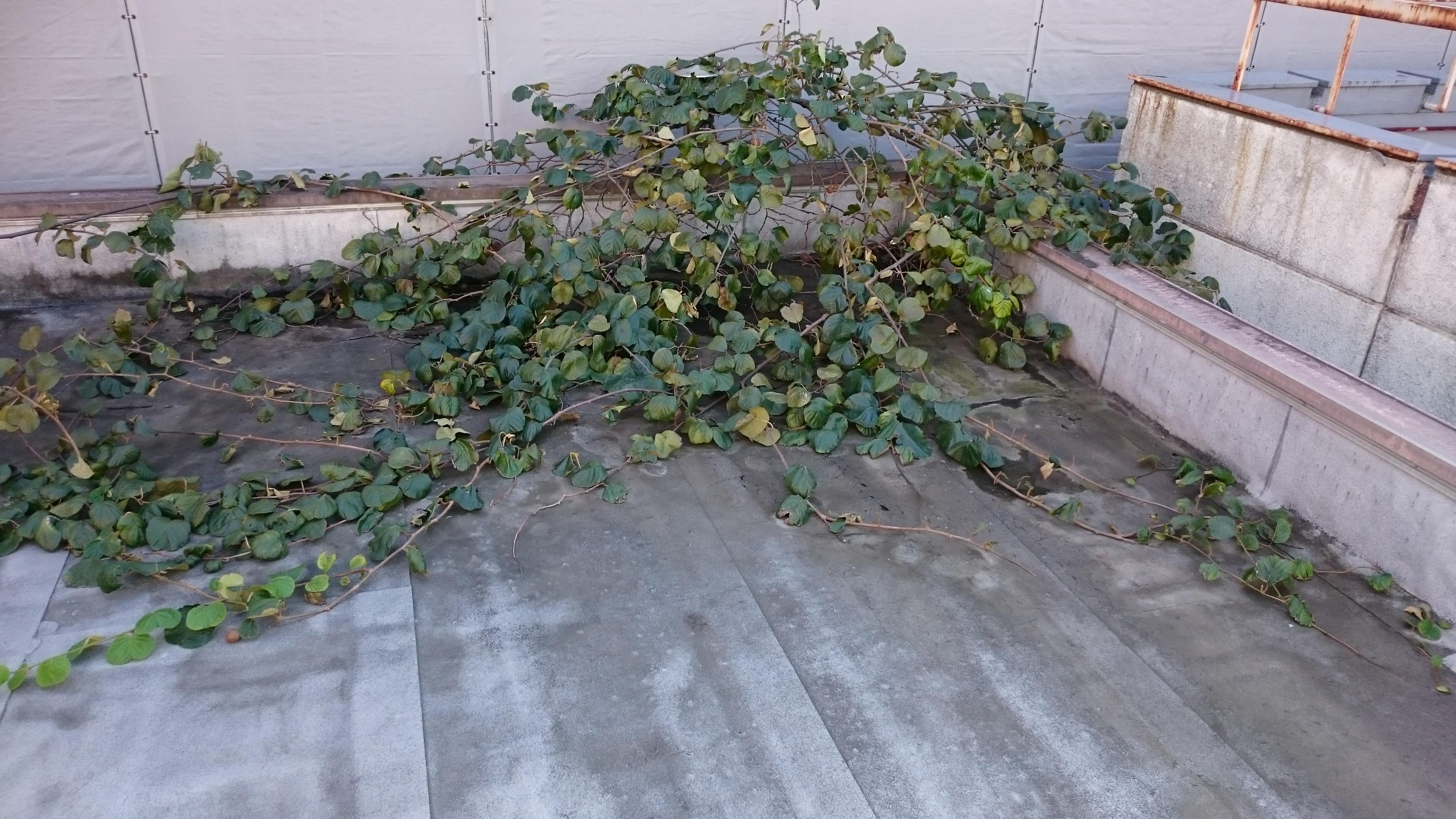 屋上部分で枝を広げ葉を茂らせていた巨大植物