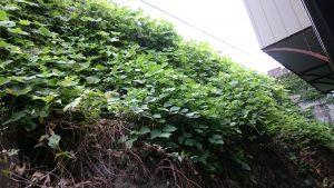 擁壁の蔦を除草